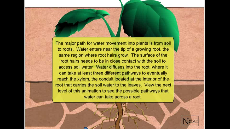 Water movement through roots