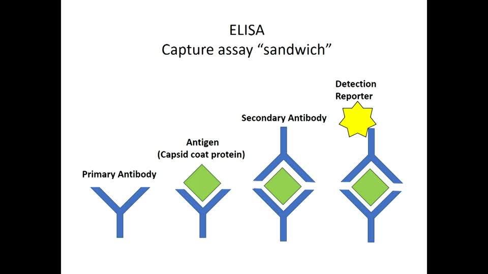 Wheat Streak Mosaic Virus Diagnosis using ELISA