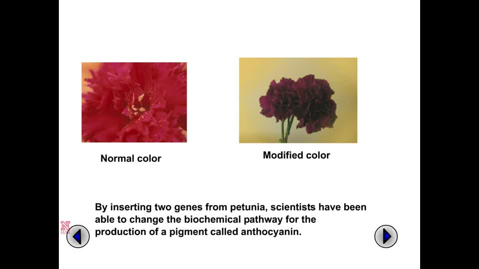 Modifying Carnation Flower Color through Biotechnology
