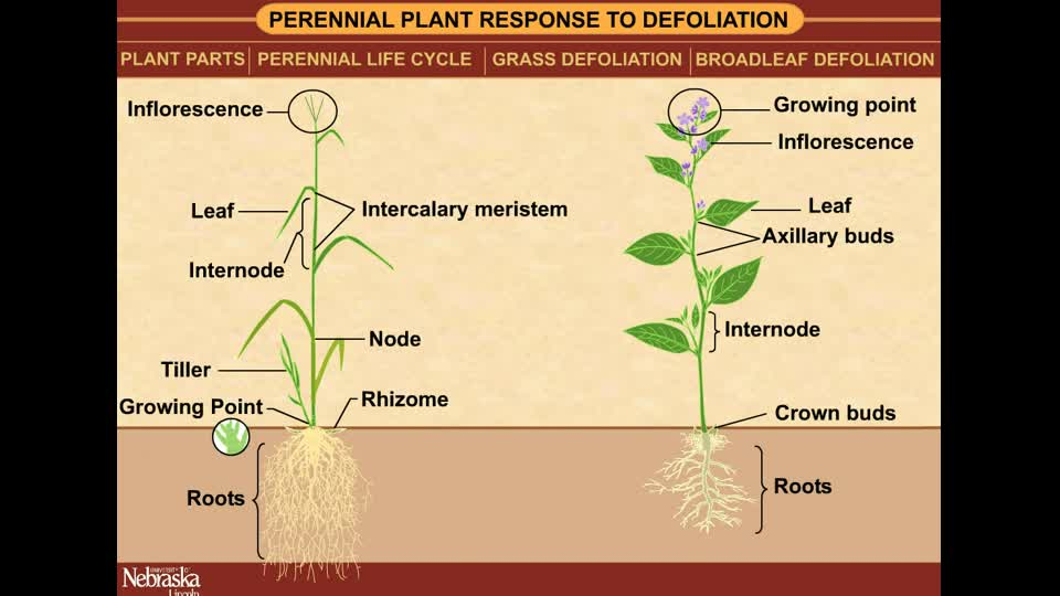 Perennial Plant Response to Defoliation