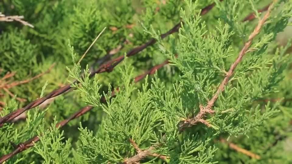 Is Eastern Redcedar an Invasive Species?
