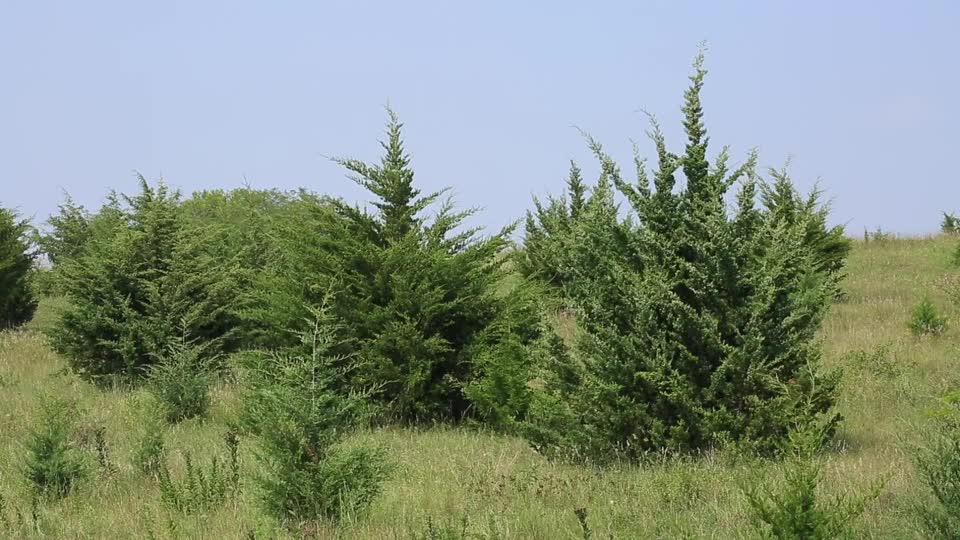 How Does Cedar Impact Wildlife in the Great Plains?
