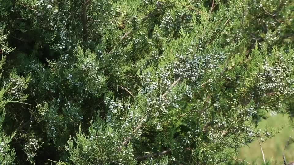 Do Windbreaks Contribute to Eastern Redcedar Infestation of Grasslands?