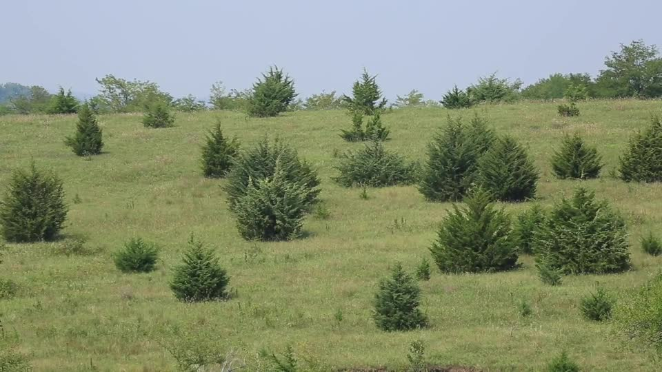 Does it Require Wildfire to Kill Eastern Redcedar?