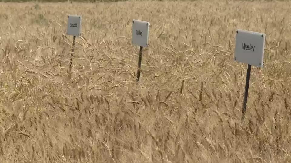 Developing Hybrid Wheat