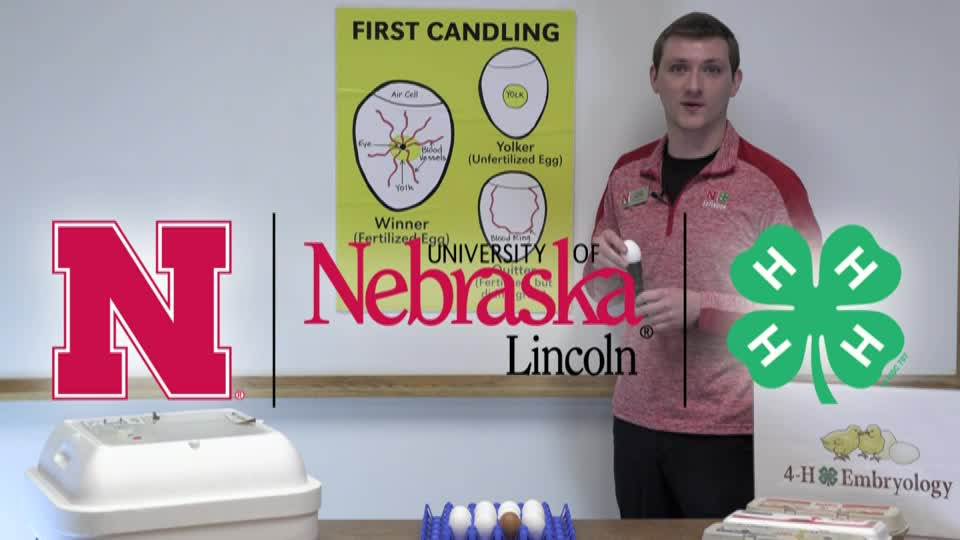 4-H Embryology Day 7 Candling Classroom Presentation