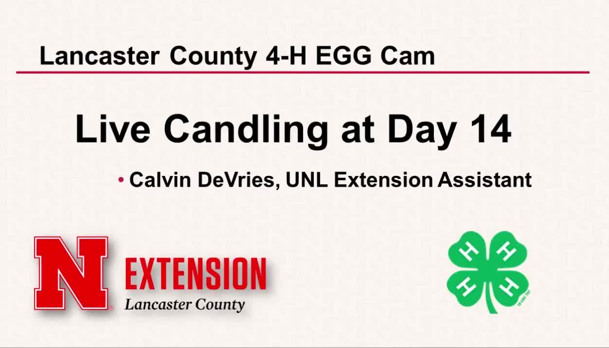 4-H Embryology Day 14 Live Candling