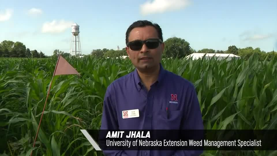 Amit Jhala – Early Post or Late Post Herbicides, 2020 Virtual Field Day for Management of Atrazine, Glyphosate, and ALS Inhibitors-resistant Palmer amaranth in Corn
