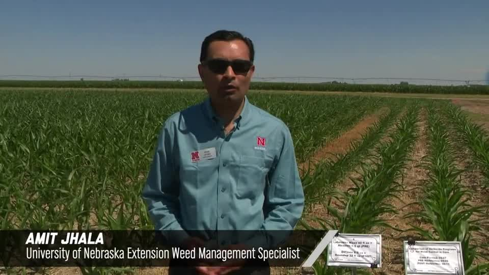 Comparison Of Herbicide Programs For Weed Control In Corn, 2020 Virtual Weed Management Field Day at South Central Ag Lab
