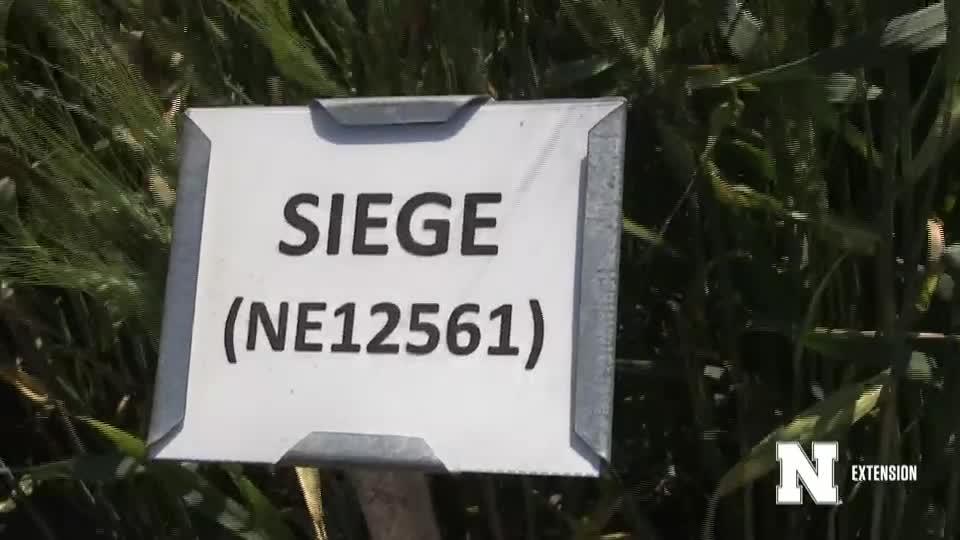 12. Siege - 2020 Eastern Nebraska Winter Wheat Variety Trial Virtual Tour