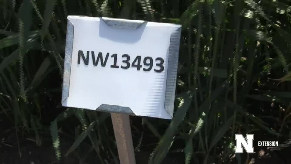 24. NW13493 - 2020 Eastern Nebraska Winter Wheat Variety Trial Virtual Tour