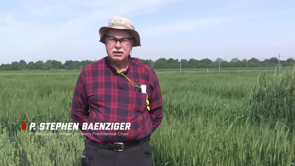 Husker Wheat Breeding Program