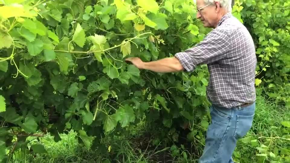 Canopy Management –Whiskey Run Creek Winery
