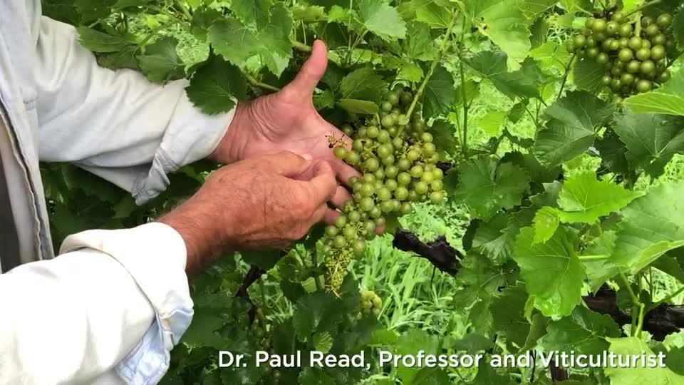 Hail Damage –Whiskey Run Creek Winery