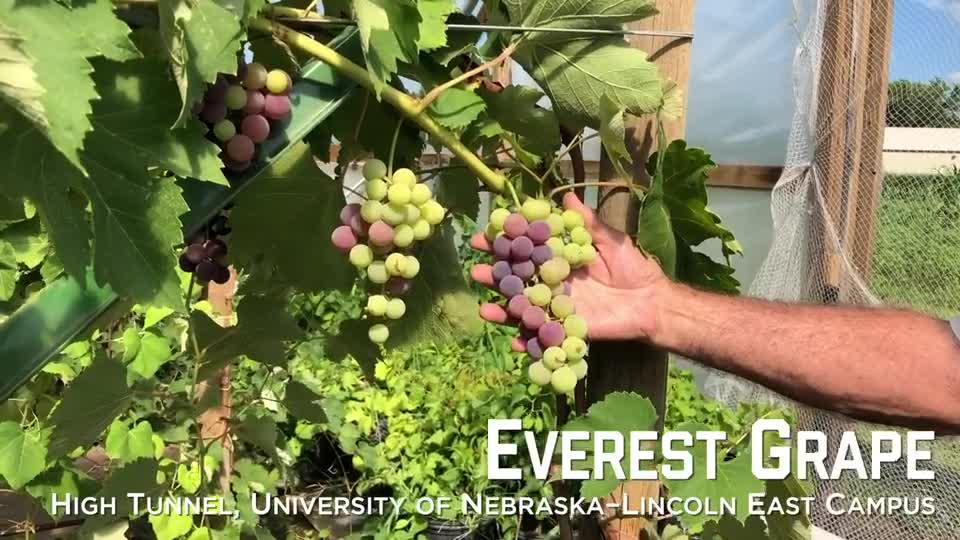 Everest Grapes –University of Nebraska–Lincoln East Campus High Tunnel