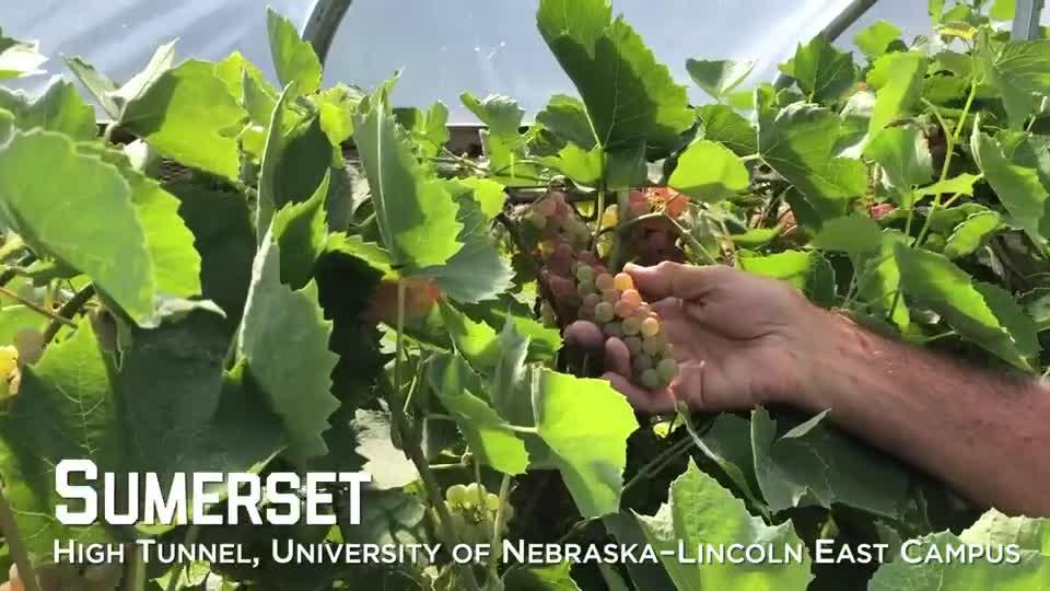 Sumerset Grapes –University of Nebraska–Lincoln East Campus High Tunnel