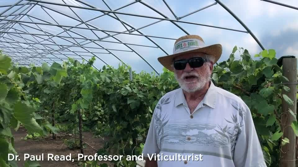 Table Grapes –University of Nebraska–Lincoln East Campus High Tunnel