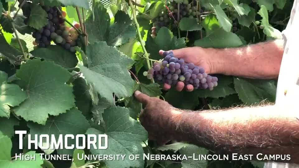 Thomcord Grapes –University of Nebraska–Lincoln East Campus High Tunnel
