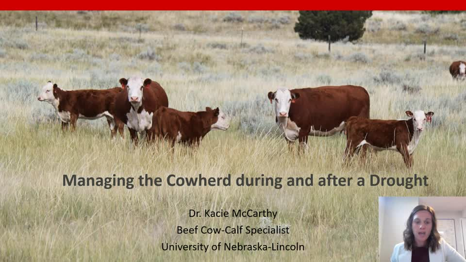 Managing the cowherd during and after a drought