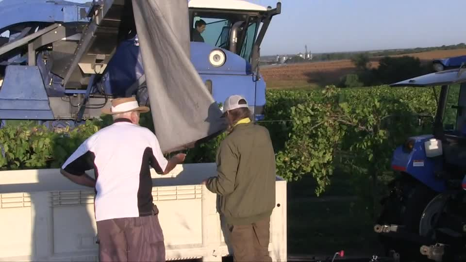 Harvest at Oak Creek Vineyard, Raymond, Nebraska
