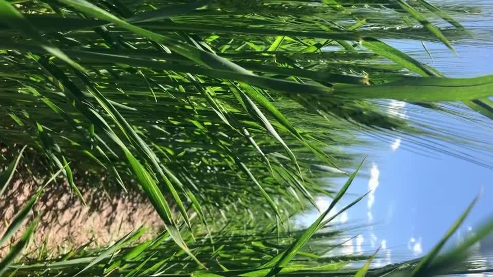 Wheat stem sawfly swarm