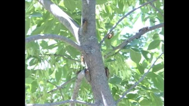 17yr cicadas tree trunk