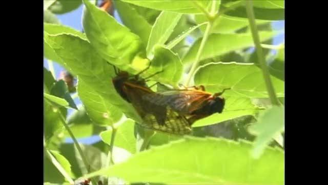 17yr cicada - mating01
