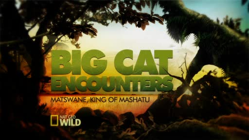 Big Cat Encounters: Matswane, King of Mashatu