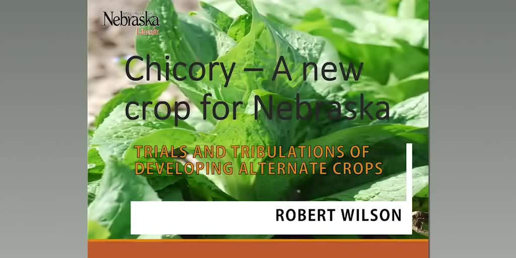 Chicory — A new crop for Nebraska: Trials and tribulations of developing alternate crops