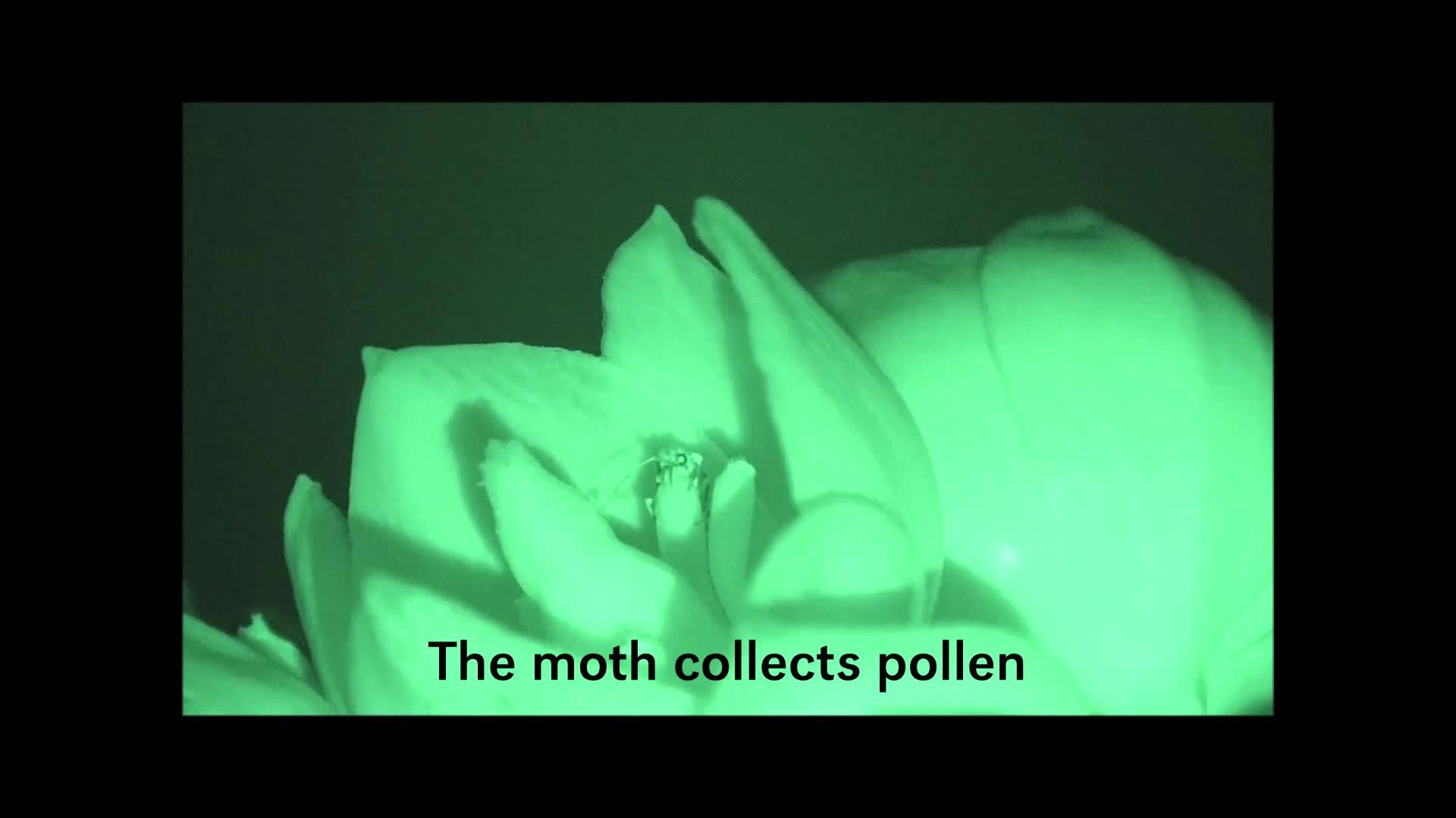 Yucca moth pollination